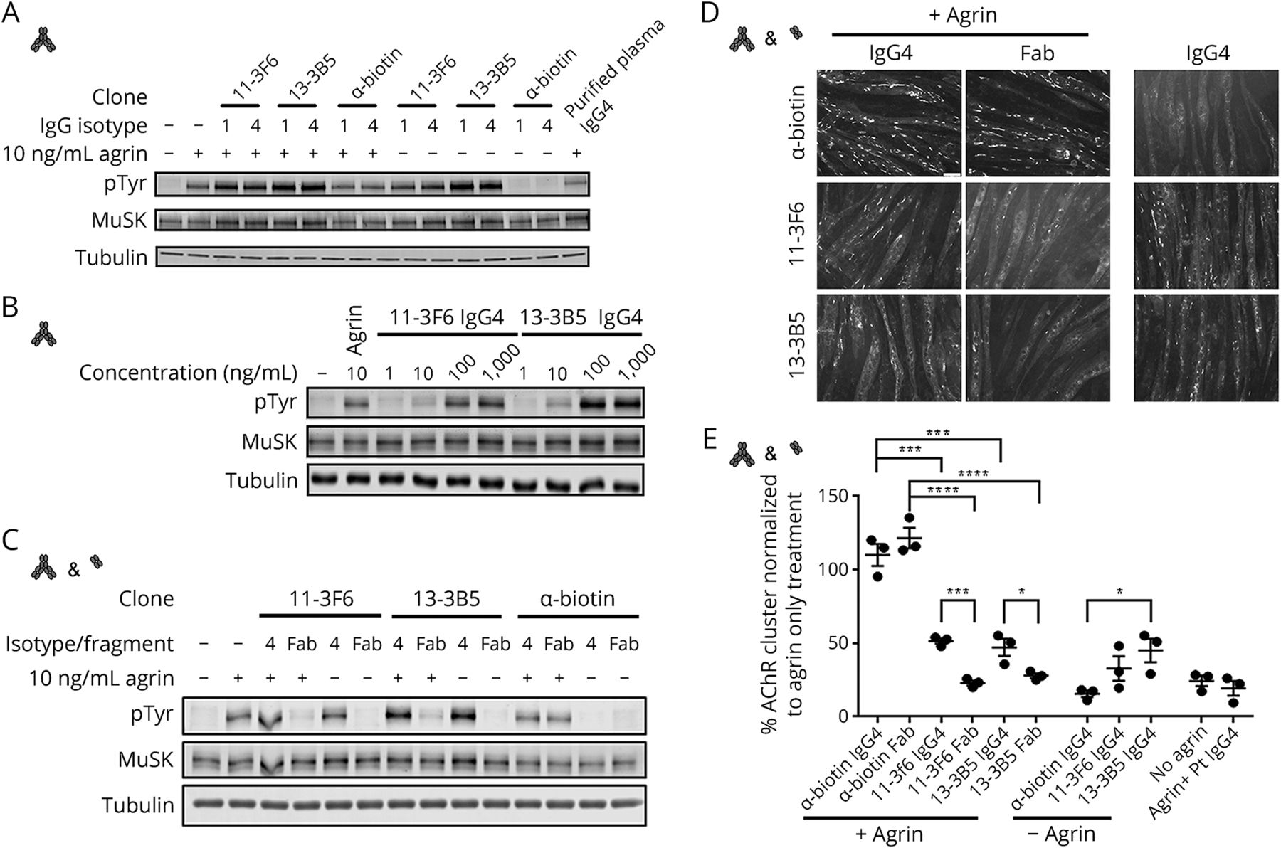 MuSK myasthenia gravis monoclonal antibodies | Neurology
